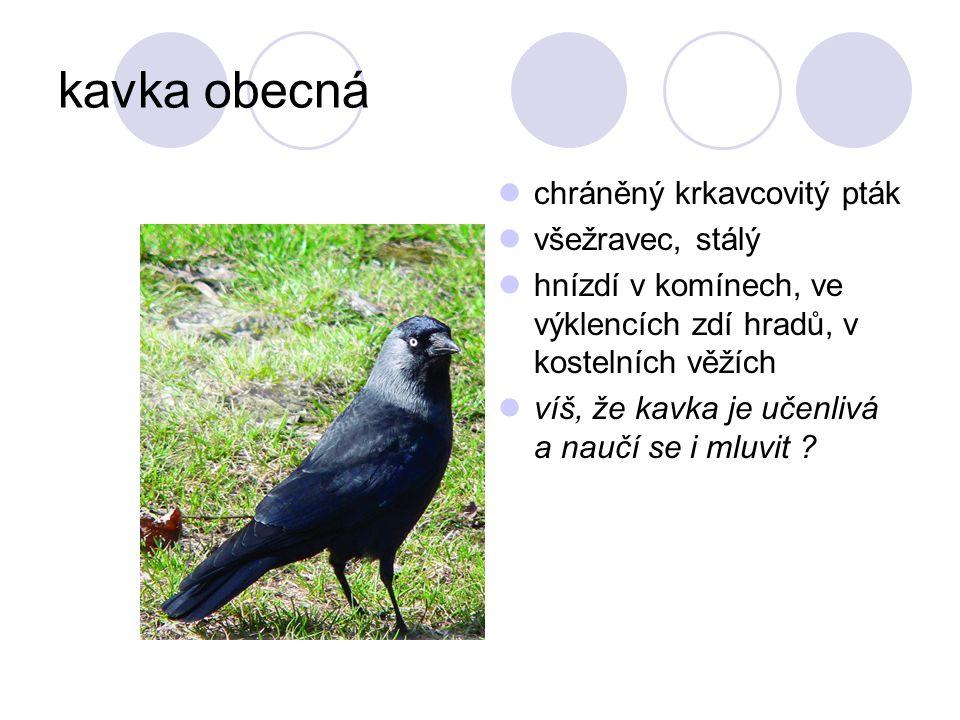kavka obecná chráněný krkavcovitý pták všežravec, stálý hnízdí v komínech, ve výklencích zdí hradů, v kostelních věžích víš, že kavka je učenlivá a na