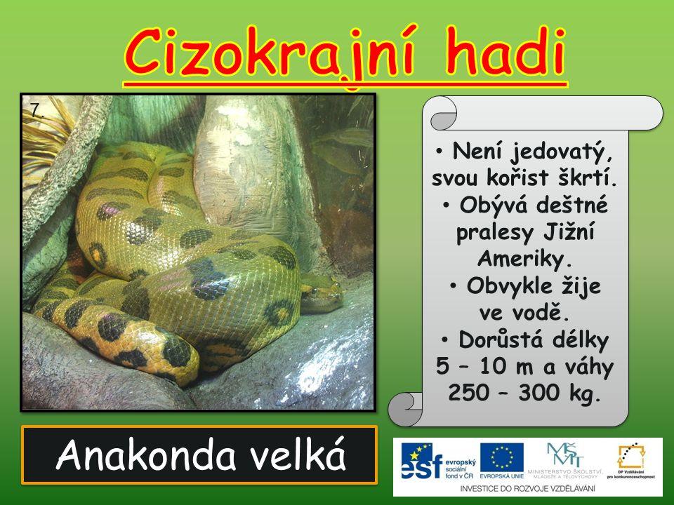 Anakonda velká Není jedovatý, svou kořist škrtí. Obývá deštné pralesy Jižní Ameriky. Obvykle žije ve vodě. Dorůstá délky 5 – 10 m a váhy 250 – 300 kg.