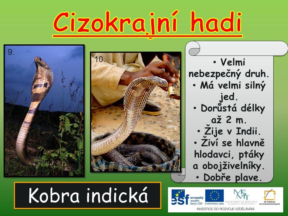 Kobra indická Velmi nebezpečný druh. Má velmi silný jed. Dorůstá délky až 2 m. Žije v Indii. Živí se hlavně hlodavci, ptáky a obojživelníky. Dobře pla