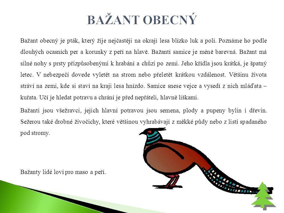 Bažant obecný je pták, který žije nejčastěji na okraji lesa blízko luk a polí. Poznáme ho podle dlouhých ocasních per a korunky z peří na hlavě. Bažan