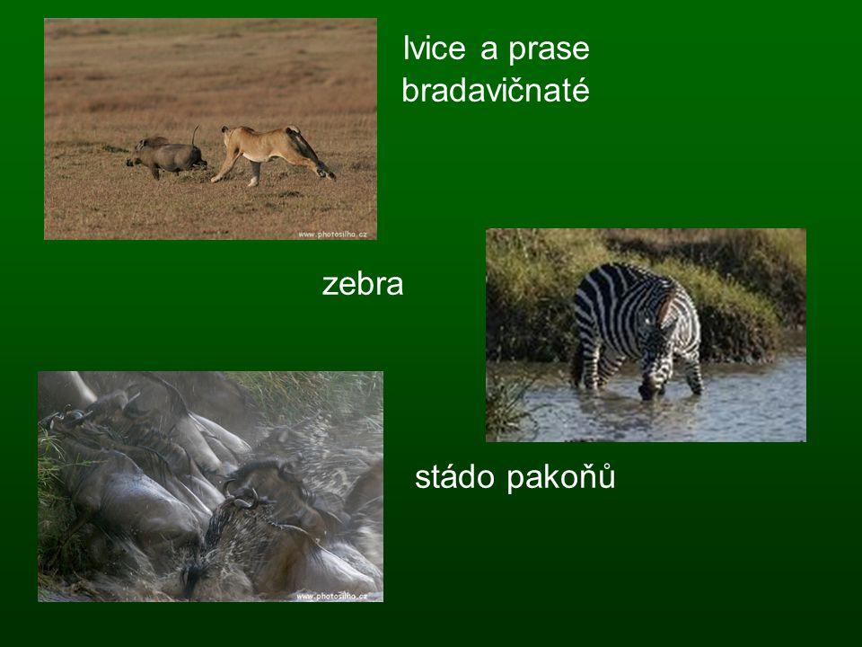 lvice a prase bradavičnaté zebra stádo pakoňů