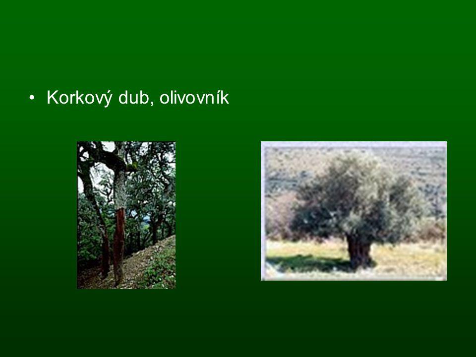 Korkový dub, olivovník