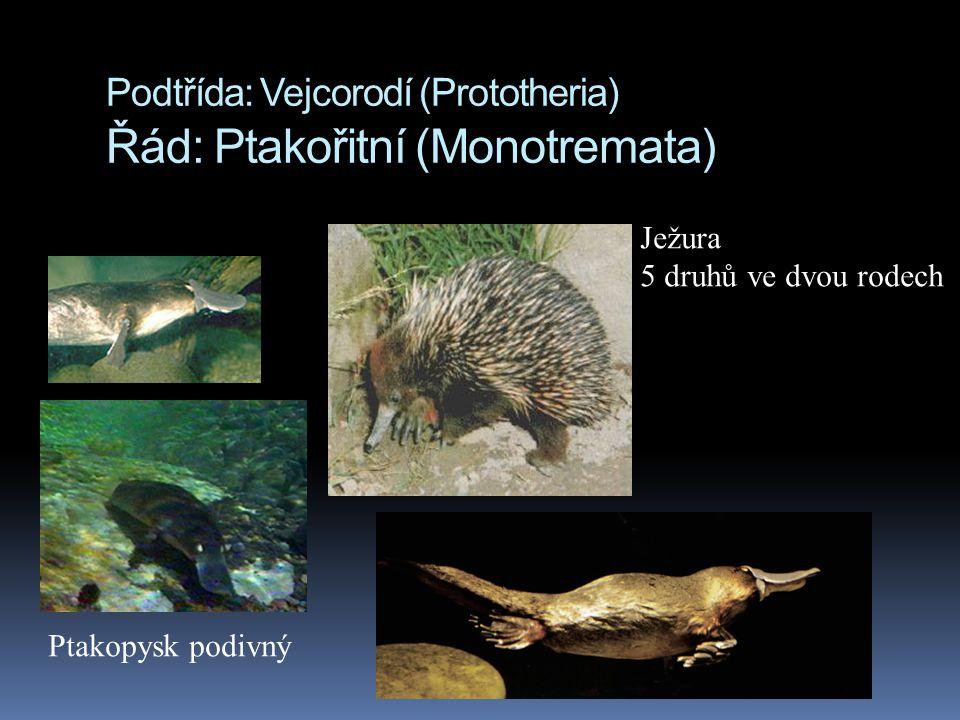 Podtřída: Vejcorodí (Prototheria) Řád: Ptakořitní (Monotremata) Ježura 5 druhů ve dvou rodech Ptakopysk podivný