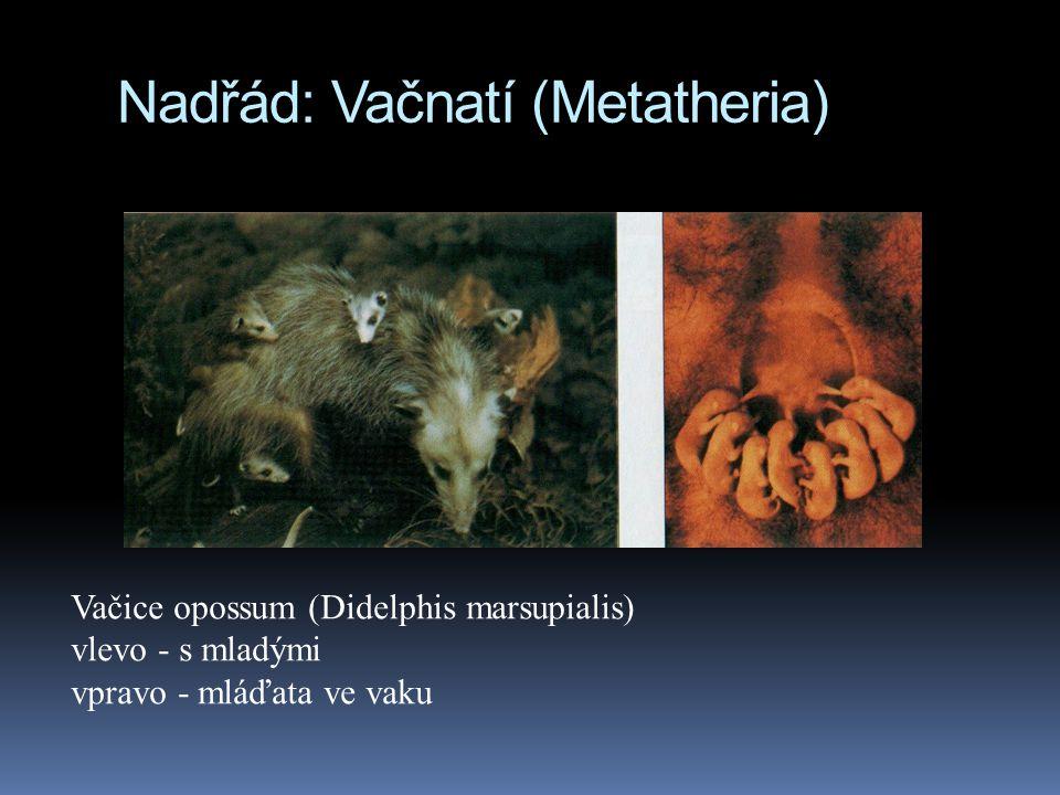 Nadřád: Vačnatí (Metatheria) Vačice opossum (Didelphis marsupialis) vlevo - s mladými vpravo - mláďata ve vaku