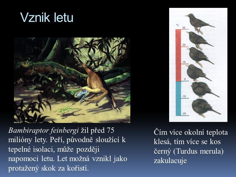 Vznik letu Čím více okolní teplota klesá, tím více se kos černý (Turdus merula) zakulacuje Bambiraptor feinbergi žil před 75 milióny lety. Peří, původ