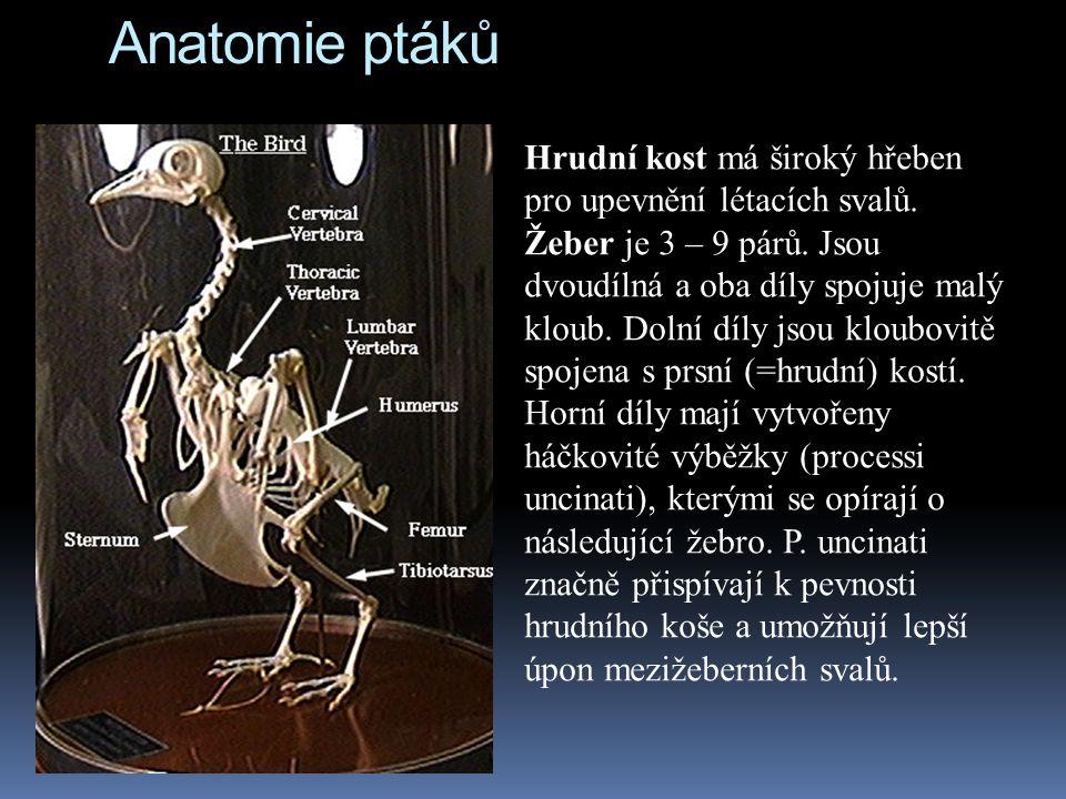 Anatomie ptáků Hrudní kost má široký hřeben pro upevnění létacích svalů. Žeber je 3 – 9 párů. Jsou dvoudílná a oba díly spojuje malý kloub. Dolní díly