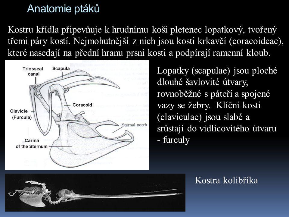 Anatomie ptáků Kostru křídla připevňuje k hrudnímu koši pletenec lopatkový, tvořený třemi páry kostí. Nejmohutnější z nich jsou kosti krkavčí (coracoi
