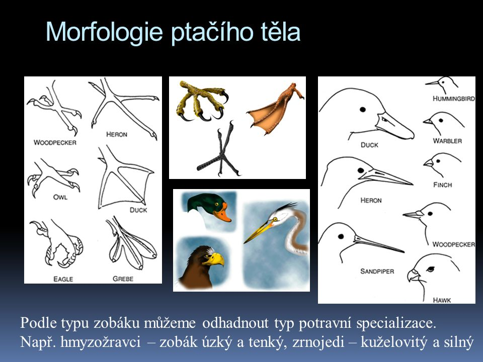 Morfologie ptačího těla Podle typu zobáku můžeme odhadnout typ potravní specializace. Např. hmyzožravci – zobák úzký a tenký, zrnojedi – kuželovitý a