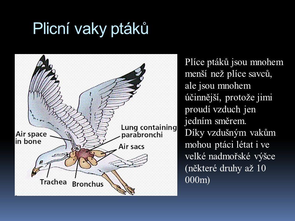 Plicní vaky ptáků Plíce ptáků jsou mnohem menší než plíce savců, ale jsou mnohem účinnější, protože jimi proudí vzduch jen jedním směrem. Díky vzdušný