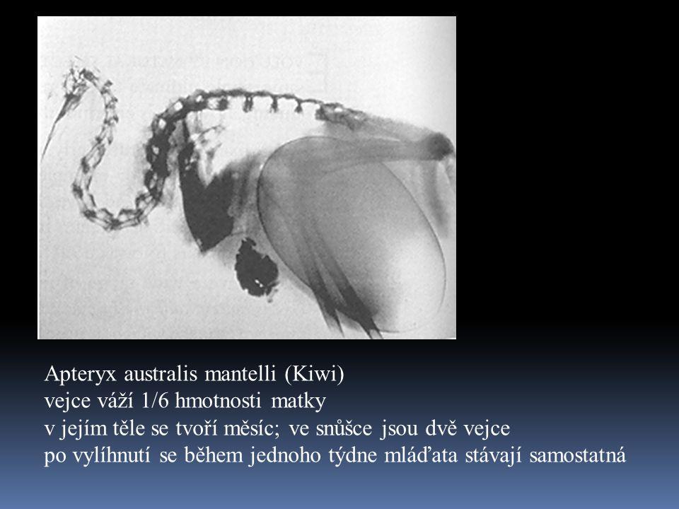 Apteryx australis mantelli (Kiwi) vejce váží 1/6 hmotnosti matky v jejím těle se tvoří měsíc; ve snůšce jsou dvě vejce po vylíhnutí se během jednoho t