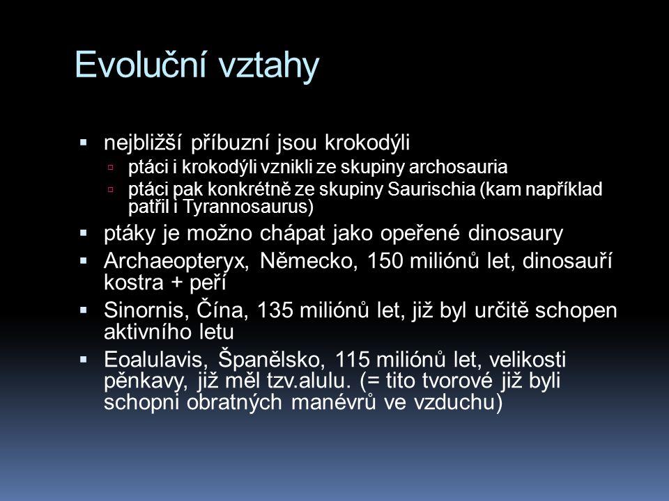 Evoluční vztahy  nejbližší příbuzní jsou krokodýli  ptáci i krokodýli vznikli ze skupiny archosauria  ptáci pak konkrétně ze skupiny Saurischia (kam například patřil i Tyrannosaurus)  ptáky je možno chápat jako opeřené dinosaury  Archaeopteryx, Německo, 150 miliónů let, dinosauří kostra + peří  Sinornis, Čína, 135 miliónů let, již byl určitě schopen aktivního letu  Eoalulavis, Španělsko, 115 miliónů let, velikosti pěnkavy, již měl tzv.alulu.