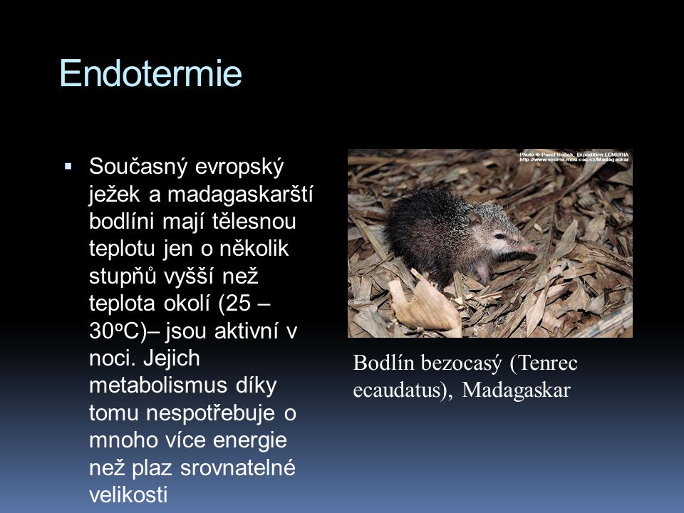 Endotermie  Současný evropský ježek a madagaskarští bodlíni mají tělesnou teplotu jen o několik stupňů vyšší než teplota okolí (25 – 30 o C)– jsou aktivní v noci.