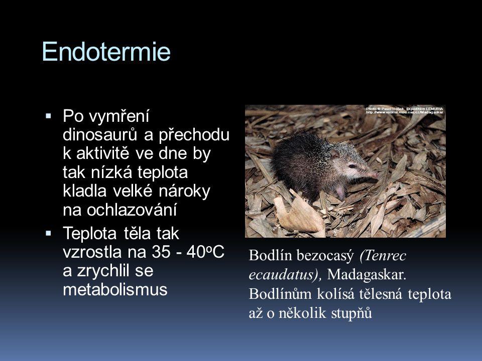 Endotermie  Po vymření dinosaurů a přechodu k aktivitě ve dne by tak nízká teplota kladla velké nároky na ochlazování  Teplota těla tak vzrostla na 35 - 40 o C a zrychlil se metabolismus Bodlín bezocasý (Tenrec ecaudatus), Madagaskar.