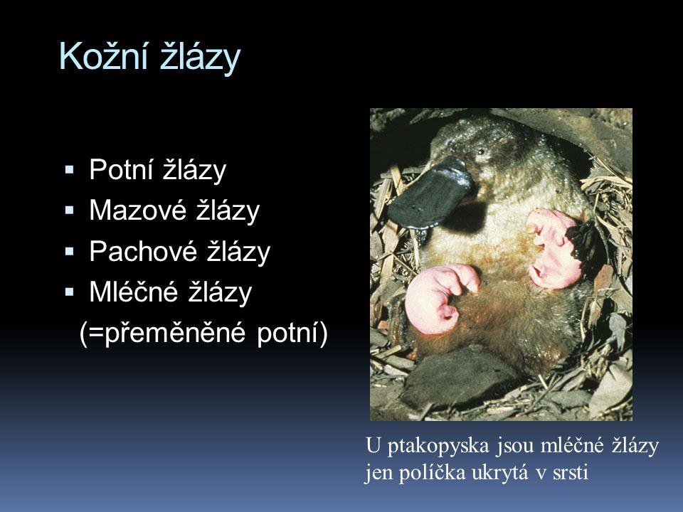 Kožní žlázy  Potní žlázy  Mazové žlázy  Pachové žlázy  Mléčné žlázy (=přeměněné potní) U ptakopyska jsou mléčné žlázy jen políčka ukrytá v srsti