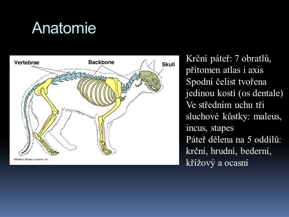 Anatomie Krční páteř: 7 obratlů, přítomen atlas i axis Spodní čelist tvořena jedinou kostí (os dentale) Ve středním uchu tři sluchové kůstky: maleus, incus, stapes Páteř dělena na 5 oddílů: krční, hrudní, bederní, křížový a ocasní