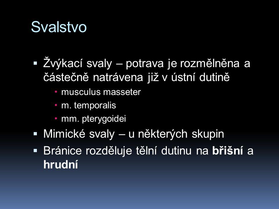 Svalstvo  Žvýkací svaly – potrava je rozmělněna a částečně natrávena již v ústní dutině  musculus masseter  m. temporalis  mm. pterygoidei  Mimic