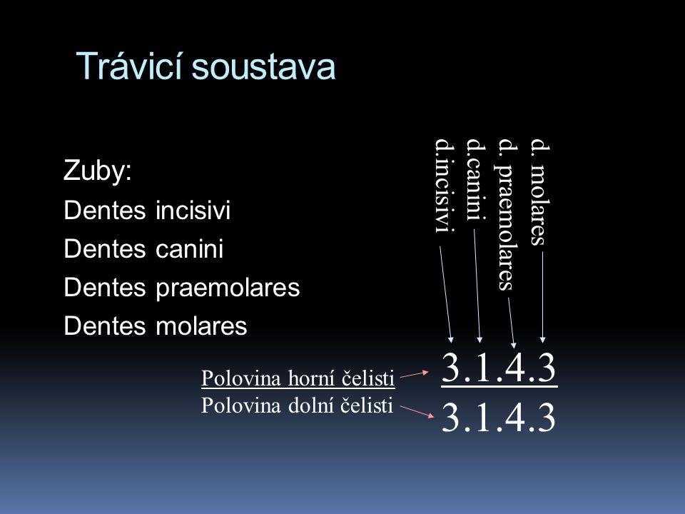 Trávicí soustava Zuby: Dentes incisivi Dentes canini Dentes praemolares Dentes molares 3.1.4.3 d. molares d. praemolares d.canini d.incisivi Polovina