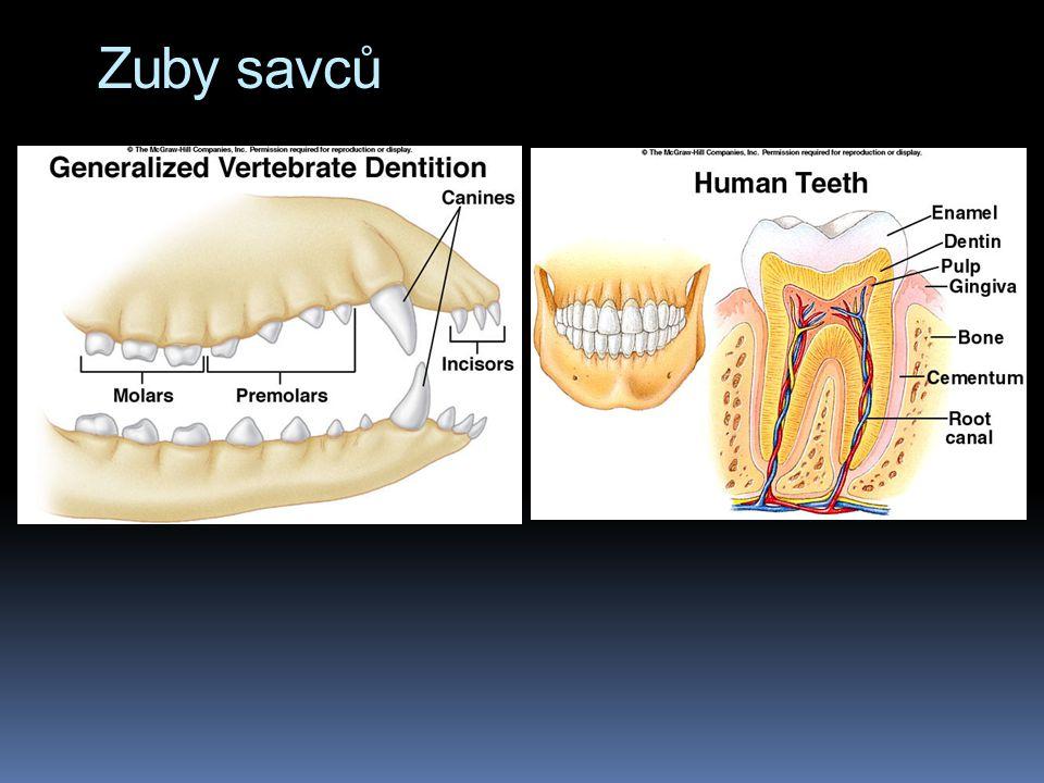 Zuby savců