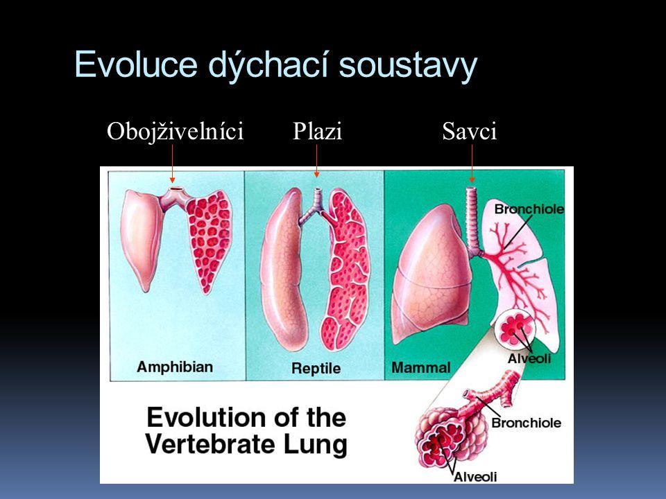 Evoluce dýchací soustavy Obojživelníci Plazi Savci