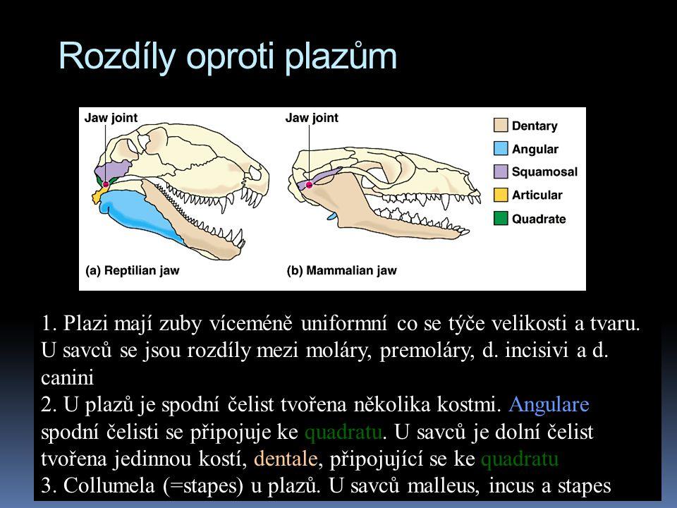 Rozdíly oproti plazům 1. Plazi mají zuby víceméně uniformní co se týče velikosti a tvaru. U savců se jsou rozdíly mezi moláry, premoláry, d. incisivi