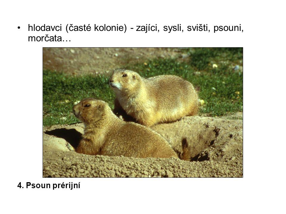 hlodavci (časté kolonie) - zajíci, sysli, svišti, psouni, morčata… 4. Psoun prérijní
