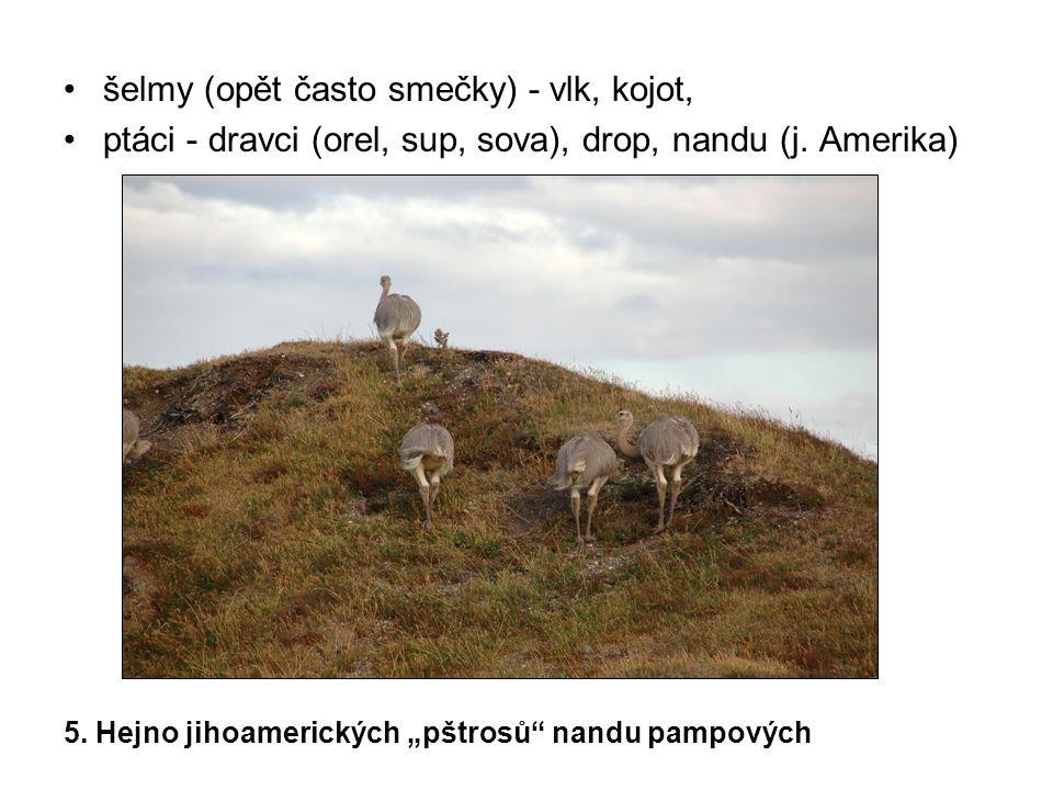"""šelmy (opět často smečky) - vlk, kojot, ptáci - dravci (orel, sup, sova), drop, nandu (j. Amerika) 5. Hejno jihoamerických """"pštrosů"""" nandu pampových"""