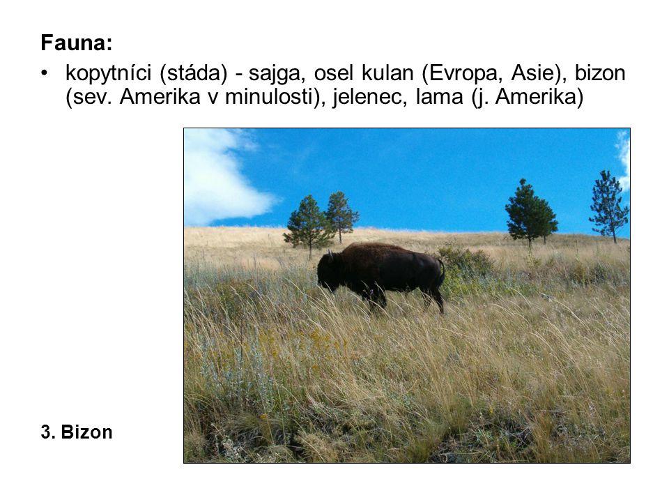 Fauna: kopytníci (stáda) - sajga, osel kulan (Evropa, Asie), bizon (sev. Amerika v minulosti), jelenec, lama (j. Amerika) 3. Bizon