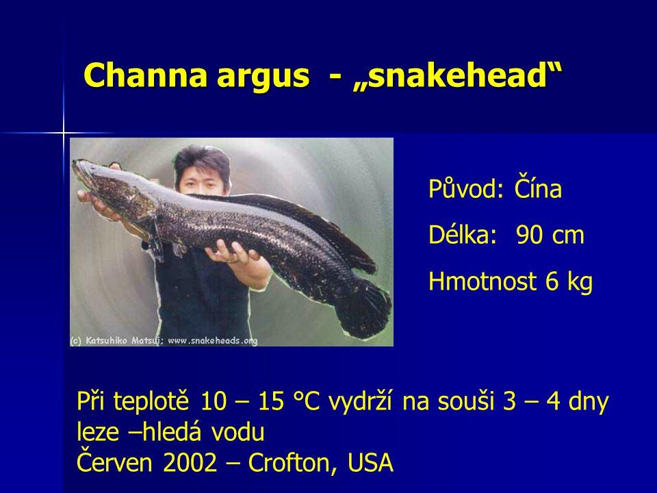 """Channa argus - """"snakehead"""" Při teplotě 10 – 15 °C vydrží na souši 3 – 4 dny leze –hledá vodu Červen 2002 – Crofton, USA Původ: Čína Délka: 90 cm Hmotn"""