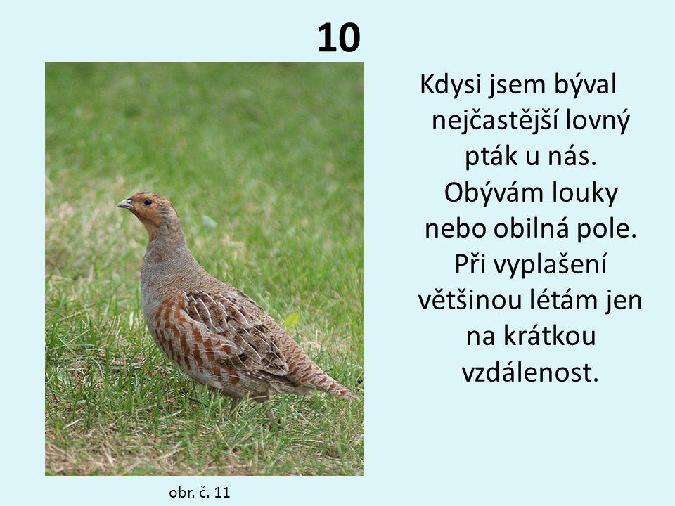 10 Kdysi jsem býval nejčastější lovný pták u nás. Obývám louky nebo obilná pole. Při vyplašení většinou létám jen na krátkou vzdálenost. obr. č. 11