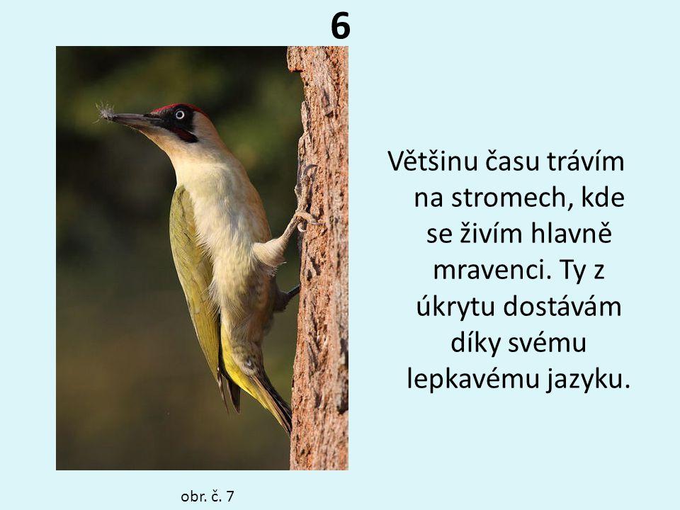 6 Většinu času trávím na stromech, kde se živím hlavně mravenci. Ty z úkrytu dostávám díky svému lepkavému jazyku. obr. č. 7