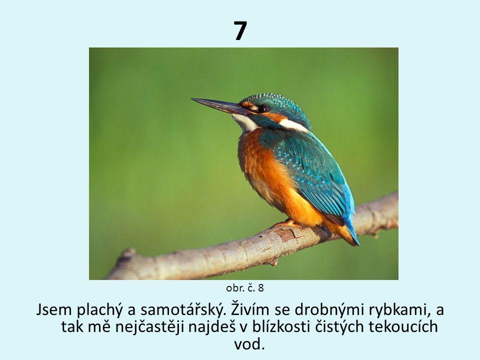7 Jsem plachý a samotářský. Živím se drobnými rybkami, a tak mě nejčastěji najdeš v blízkosti čistých tekoucích vod. obr. č. 8