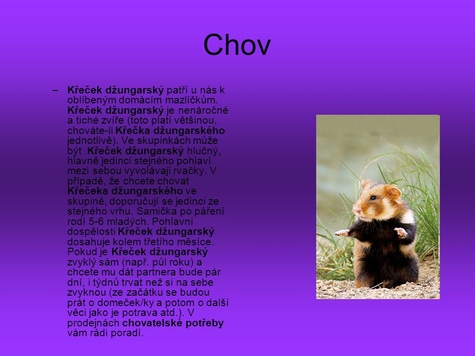 Chov –K–Křeček džungarský patří u nás k oblíbeným domácím mazlíčkům. Křeček džungarský je nenáročné a tiché zvíře (toto platí většinou, chováte-li Kře