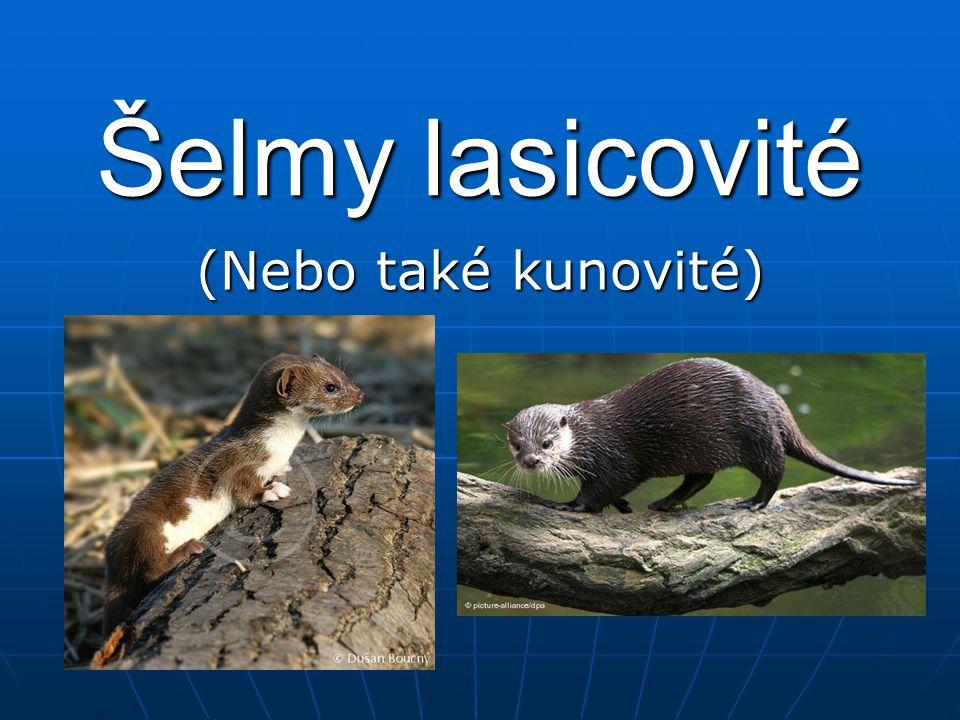 Šelmy lasicovité (Nebo také kunovité)