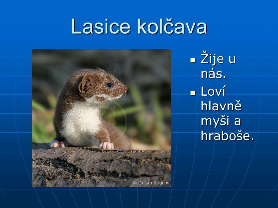 Lasice kolčava Žije u nás. Žije u nás. Loví hlavně myši a hraboše. Loví hlavně myši a hraboše.
