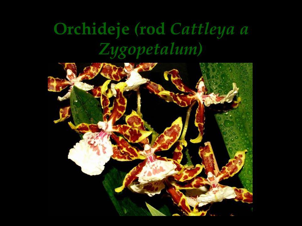 Orchideje ( rod Cattleya a Zygopetalum)