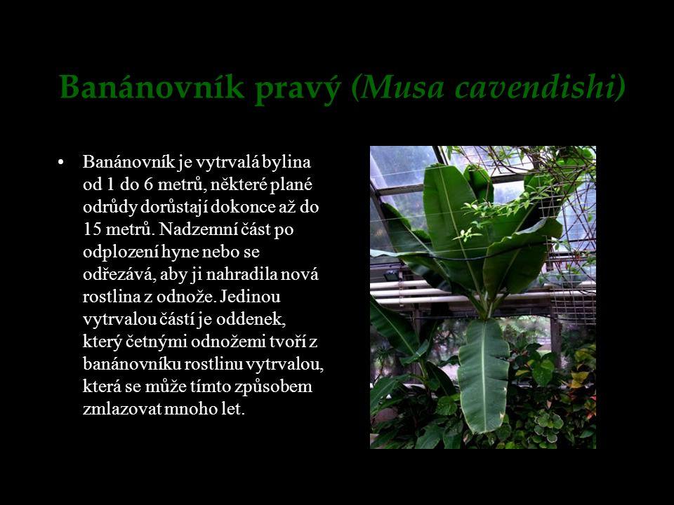 Banánovník pravý (Musa cavendishi) Banánovník je vytrvalá bylina od 1 do 6 metrů, některé plané odrůdy dorůstají dokonce až do 15 metrů. Nadzemní část