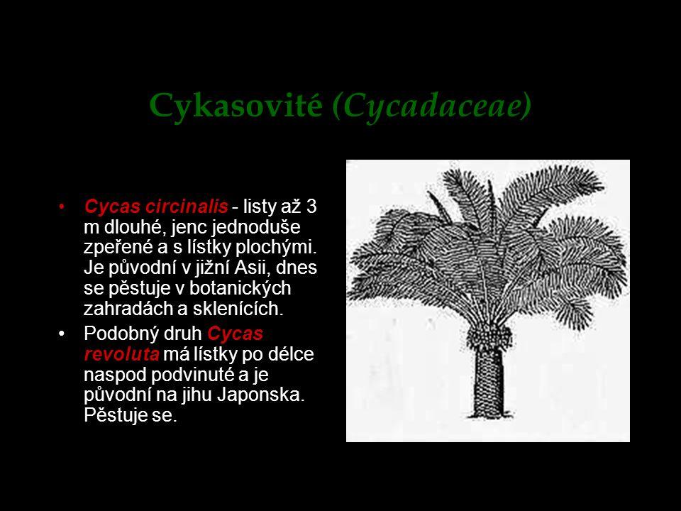 Cykasovité (Cycadaceae) Cycas circinalis - listy až 3 m dlouhé, jenc jednoduše zpeřené a s lístky plochými. Je původní v jižní Asii, dnes se pěstuje v