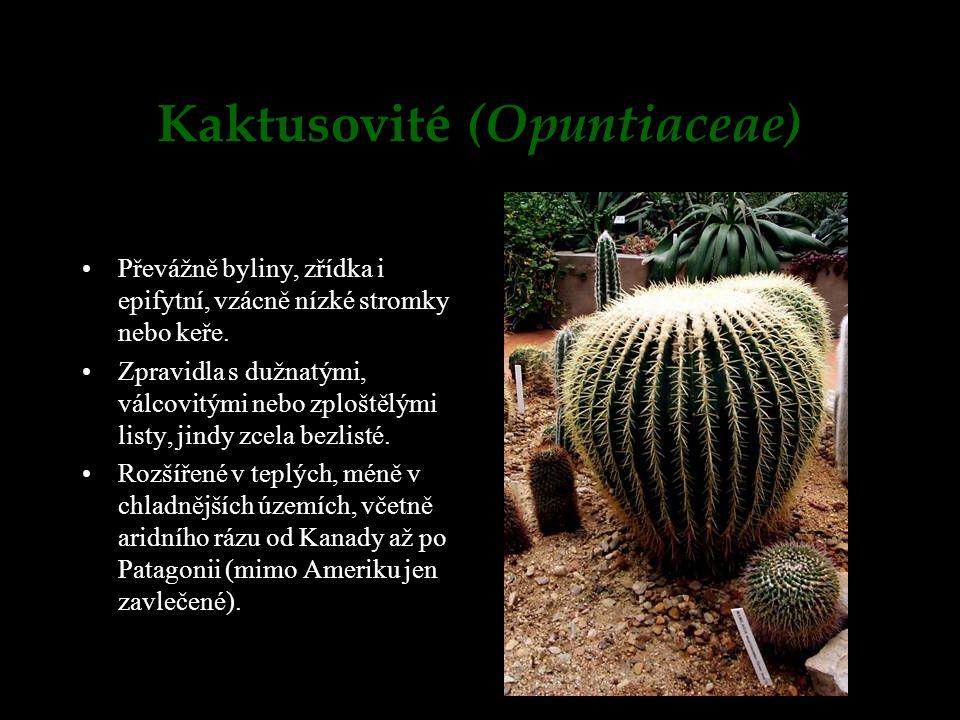 Kaktusovité (Opuntiaceae) Převážně byliny, zřídka i epifytní, vzácně nízké stromky nebo keře. Zpravidla s dužnatými, válcovitými nebo zploštělými list