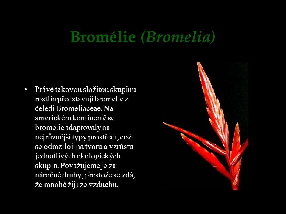 Bromélie (Bromelia) Právě takovou složitou skupinu rostlin představují bromélie z čeledi Bromeliaceae. Na americkém kontinentě se bromélie adaptovaly