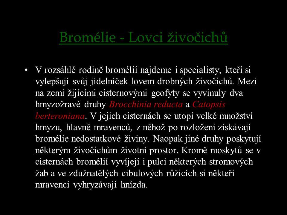 Bromélie - Lovci živočichů V rozsáhlé rodině bromélií najdeme i specialisty, kteří si vylepšují svůj jídelníček lovem drobných živočichů. Mezi na zemi