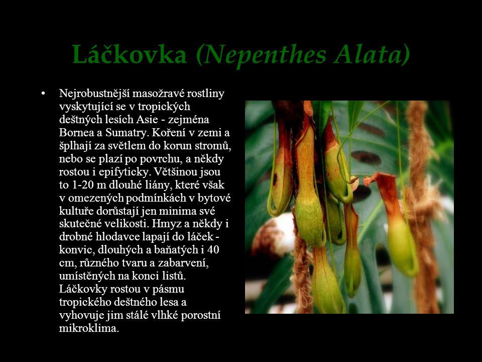 Láčkovka (Nepenthes Alata) Nejrobustnější masožravé rostliny vyskytující se v tropických deštných lesích Asie - zejména Bornea a Sumatry. Koření v zem