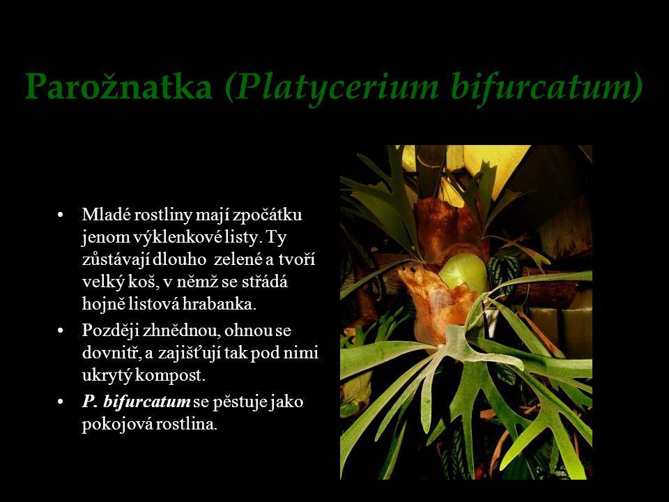 Parožnatka (Platycerium bifurcatum) Mladé rostliny mají zpočátku jenom výklenkové listy. Ty zůstávají dlouho zelené a tvoří velký koš, v němž se střád