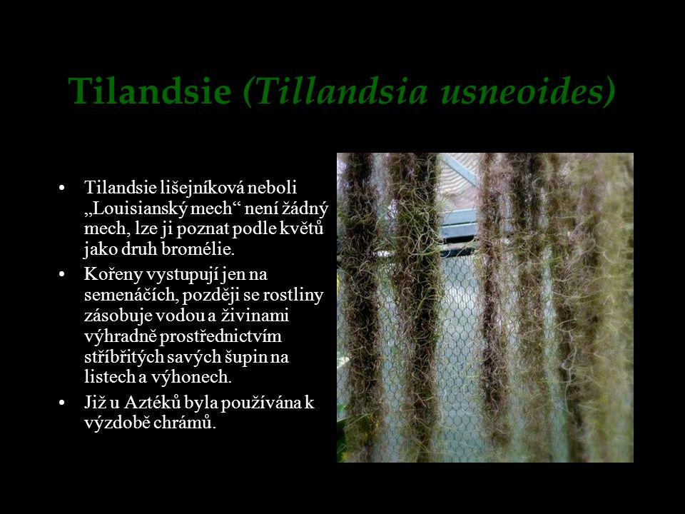 """Tilandsie (Tillandsia usneoides) Tilandsie lišejníková neboli """"Louisianský mech"""" není žádný mech, lze ji poznat podle květů jako druh bromélie. Kořeny"""