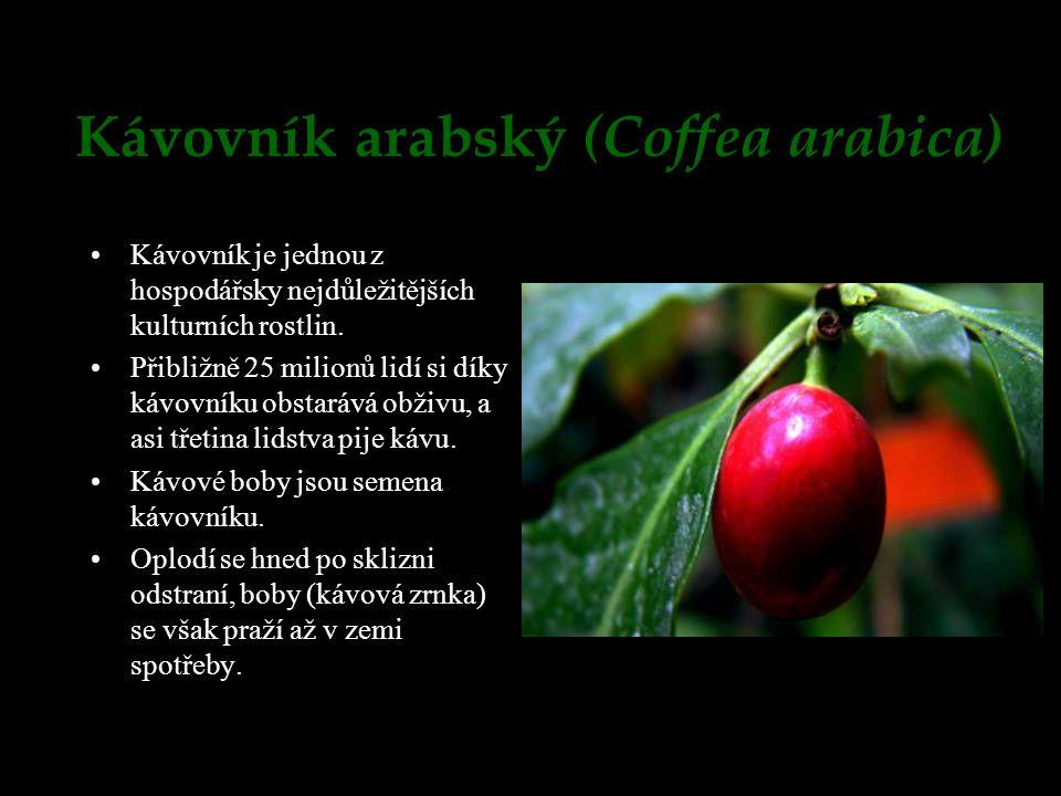 Kávovník arabský (Coffea arabica) Kávovník je jednou z hospodářsky nejdůležitějších kulturních rostlin. Přibližně 25 milionů lidí si díky kávovníku ob