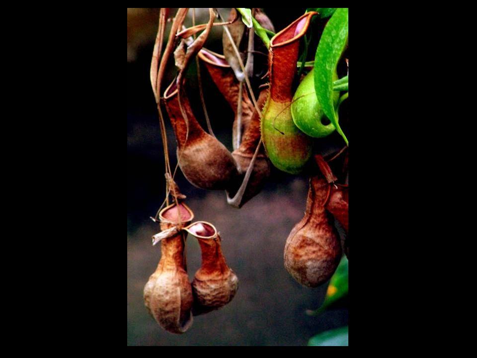Pepřovník černý (Piper nigra) Pepř je nejdůležitější koření vůbec a je znám také přinejmenším od doby Římanů.