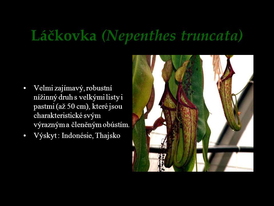 Láčkovka (Nepenthes truncata) Velmi zajímavý, robustní nížinný druh s velkými listy i pastmi (až 50 cm), které jsou charakteristické svým výrazným a č