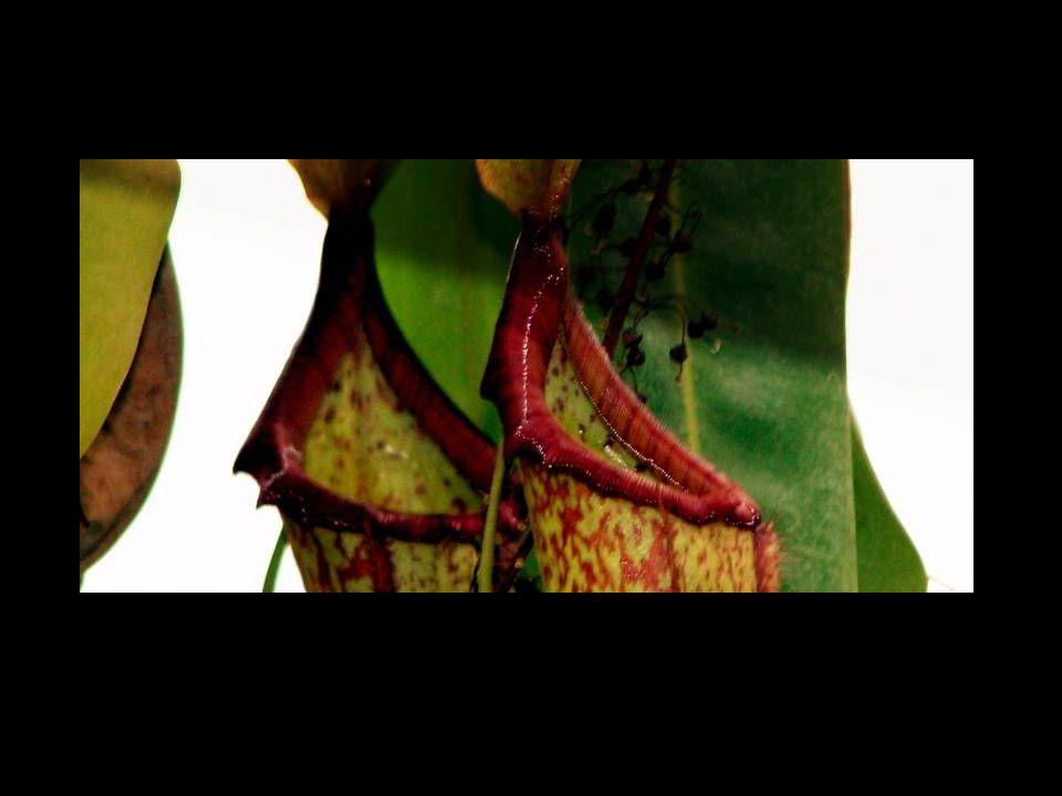 Parožnatka (Platycerium bifurcatum) Mladé rostliny mají zpočátku jenom výklenkové listy.