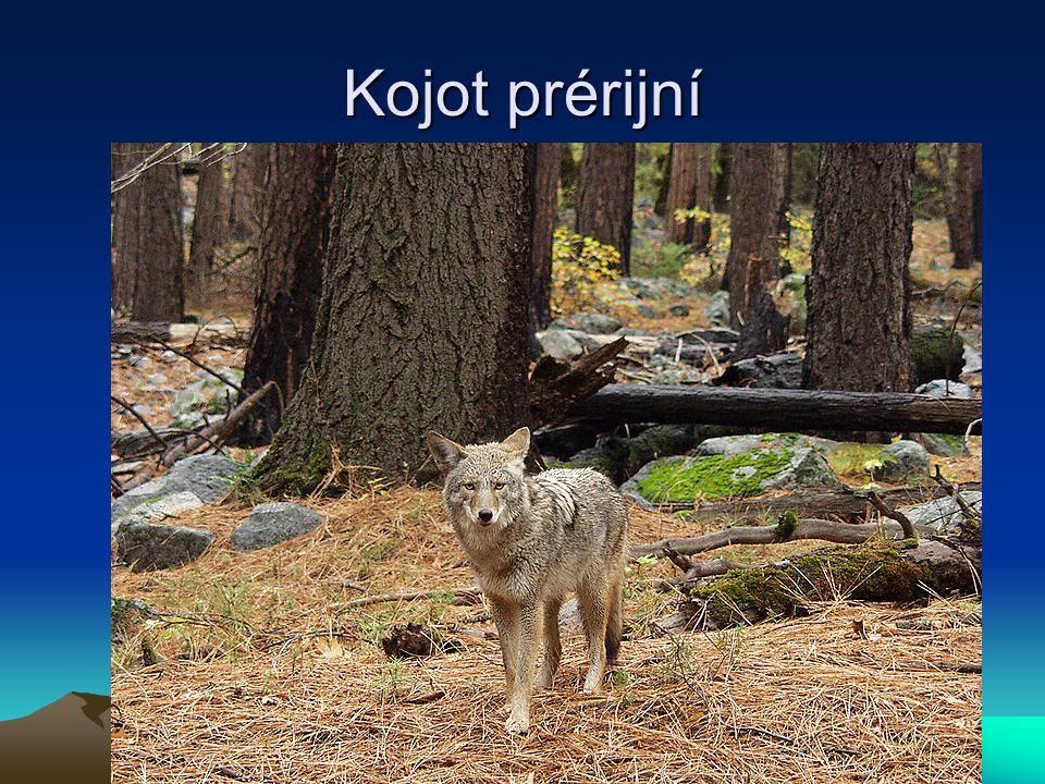 Kojot prérijní
