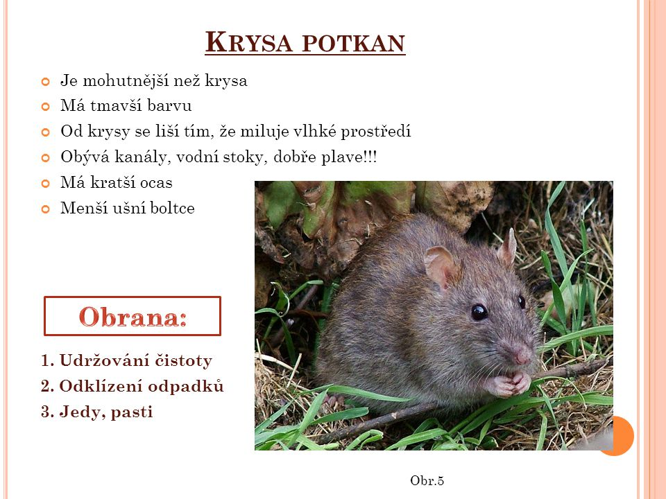 K RYSA POTKAN Je mohutnější než krysa Má tmavší barvu Od krysy se liší tím, že miluje vlhké prostředí Obývá kanály, vodní stoky, dobře plave!!.
