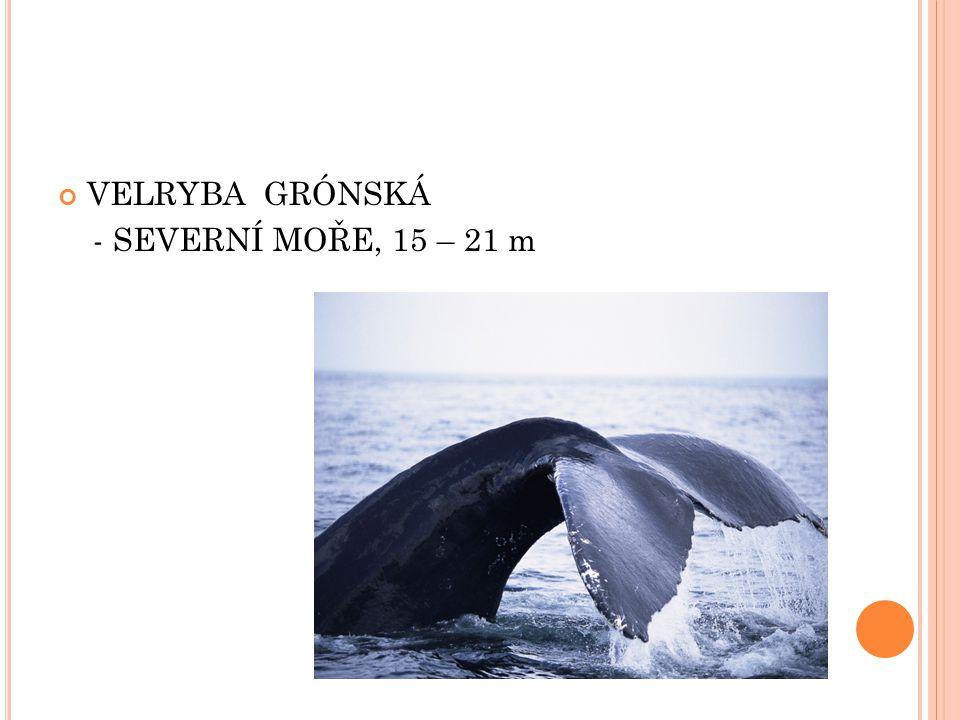 VELRYBA GRÓNSKÁ - SEVERNÍ MOŘE, 15 – 21 m